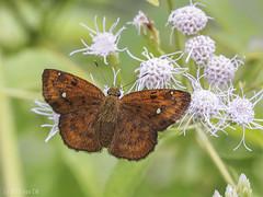 Fulvous Pied Flat (female), Pseudocoladenia dan dhyana (Green Baron Pro) Tags: vacation butterfly malaysia smokehouse frasershill hesperiidae pyrginae 201512