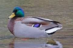 Mallard (m) (1krispy1) Tags: ducks mallard dabblingducks texasbirds