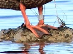 Mottled Duck band detail 20160211 (Kenneth Cole Schneider) Tags: florida miramar westbrowardwca