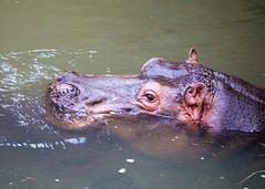 Hippopotamus (Hans van der Boom) Tags: netherlands animal nederland hippo hippopotamus nl safaripark beeksebergen noordbrabant hilvarenbeek hilarenbeek