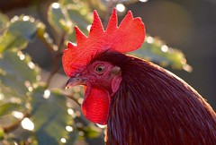 Reggie the rooster (monty689) Tags: red bird eye chicken poultry rooster sunlit comb cockerel farmyard
