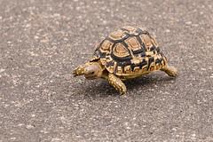 Crossing the road (ShaaronS.) Tags: africa road animal walking southafrica nationalpark crossing reptile tortoise shell conservation places juvenile claws krugernationalpark kruger carapace leopardtortoise mpumulanga nikondslr nikond600 stigmochelyspardalis