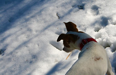 Over yonder (DapperDaphne) Tags: road wood winter dog snow tree texture ice broken water pool field grass stone pine forest puppy jack puddle foot moss paw woods melting branch crystal outdoor path branches russel grain canine trail terrier fabric pineneedles cedar prints snowing melt doggy pup pawprints sap domesticated snowed runoff canislupus