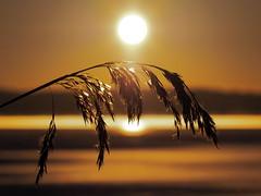 In the Sun (Jens Haggren) Tags: morning sun reed sunrise sweden olympus omd em1 nacka