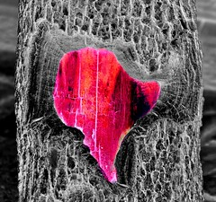 The Heart of a Tree (pjpink) Tags: nyc newyorkcity winter newyork tree heart february selectivecolor hss 2016 pjpink