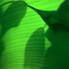 cran vert (Gerard Hermand) Tags: shadow paris france green silhouette canon leaf vert ombre greenhouse shade glasshouse feuille serre auteuil formatcarr eos5dmarkii gerardhermand 1209257742