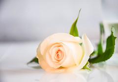 Rose (Maria Eklind) Tags: black flower reflection rose se blomma sverige blommor ros malmö ljus spegling skånelän