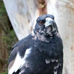 My feathered friend (Gillian Everett) Tags: river australia lookout queensland noosa laguna