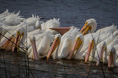 pelicans at the dinner table (robertskirk1) Tags: white bird nature animal memorial florida wildlife pelican wetlands fl viera ritchgrissom