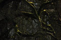 Knorrig und bemoost (05) (Rdiger Stehn) Tags: deutschland europa ast pflanze ste schatten baum moos schleswigholstein 2000s norddeutschland 2016 mitteleuropa sonnenlicht altenholzstift altenholz 2000er canoneos550d