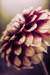Love Is In The Air (catmccray) Tags: dahlia flower hudsonbotanicgardens