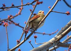 Northern cardinal (Rodents rule) Tags: usa bird female illinois dekalb cardinaliscardinalis northerncardinal prairiecreek theknolls