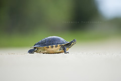 Slow and Steady (santosh_shanmuga) Tags: wild nature animal outdoors nikon florida outdoor turtle reptile wildlife shell fl prairie 500mm kissimmee cooter herp herpetology okeechobee peninsular plastron carapace d3s