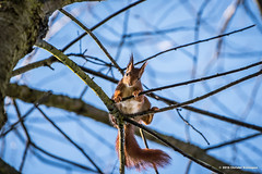 Een acrobaat (Christel Schoepen) Tags: nikon bos autofocus eekhoorn allnaturesparadise