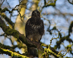 common buzzard (RCB4J) Tags: tree art nature photography scotland wildlife raptor perch buteobuteo birdofprey vantagepoint ayrshire perching commonbuzzard irvinevalley sigma150500mmf563dgoshsm ronniebarron rcb4j sonyilca77m2