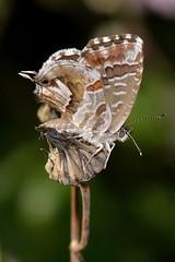 Cacyreus marshalli (Butler, 1898) (Jess Tizn Taracido) Tags: lepidoptera lycaenidae papilionoidea polyommatinae cacyreusmarshalli polyommatini