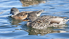 Females: Mallard (Anas platyrhynchos) and American Wigeon (Anas americana);  Albuquerque, NM, Tingley Beach Park [Lou Feltz] (deserttoad) Tags: park newmexico reflection bird nature water duck pond waterfowl wildbird