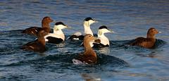 1 Eider flock, Harstad, Norway (Jim_Higham) Tags: winter sea wild white black cold green bird nature water norway duck wildlife north beak feathers ducks fjord fowl scandinavia northern eider 2016 eiders