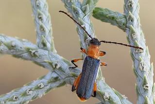 Beetle (Coleoptera)