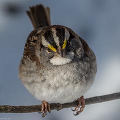 What part of no pictures do you not understand? (Explored) (Fred Roe) Tags: nature birds wildlife birding sparrow birdwatching whitethroatedsparrow zonotrichiaalbicollis birdwatcher peacevalleypark nikond7100 nikkorafs80400mmf4556ged lca71c1719