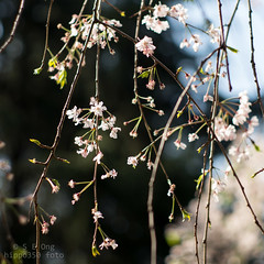 Late blooms (hippo350) Tags: travel nature garden historic cherryblossom wuhan