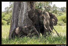 Tarangire 2016 07 (Havaux Photo) Tags: elephant robert rio river tanzania photo lion ostrich leon zebra antelope avestruz giraffe gazelle elefant antilope tarangire elefante riu gacela cebra estru jirafa lleo tarangirenationalpark antilop gasela havaux