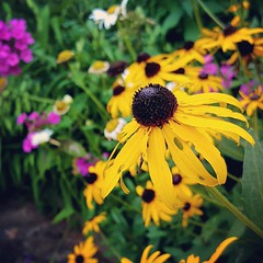 summer beauties at #amicalola falls. #rudbeckia... (Juliette_Adams) Tags: flowers summer rudbeckia dahlonega amicalola perennials georgiastatepark flowergardening phylox uploaded:by=flickstagram instagram:photo=103713223440345396946253686