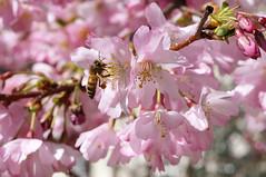 Gathering nectar (Yann OG) Tags: pink paris france flower macro tree fleur rose insect cherry 50mm spring blossom bokeh bee arbre printemps abeille insecte springtime cerisier extensiontube proxi butine tubeallonge squaredeménilmontantetdessaintsimoniens