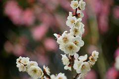 (nobuflickr) Tags: flower nature japan kyoto japaneseapricot  prunusmume   umenomiyajinja 20160302dsc02787