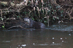 European otter (Lutra lutra) (5) (Geckoo76) Tags: otter lutralutra europeanotter