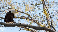 Bald Eagles of New Jersey - 3 (RGL_Photography) Tags: nature birds us newjersey unitedstates eagle wildlife baldeagle godblessamerica ornithology mothernature raptors haliaeetusleucocephalus birdsofprey americanbaldeagle wildlifephotography nikond610 nikonafs200500mmf56eedvr