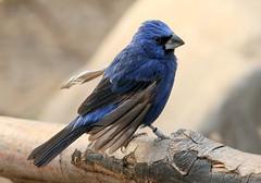 Blue Grosbeak Moulting (Ger Bosma) Tags: male bird closeup moult molt grosbeak moulting songbird molting bluegrosbeak passerinacaerulea guiracacaerulea picogruesoazul blauwebisschop azurbischof guiracableu birdofsong hellblauerbischof grosbecbleu  bltjocknbb 2mg164649