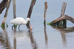 spatule blanche (TATIUMZI) Tags: france sony tokina marais oiseaux sudouest aquitaine leteich sonyalpha tokina30028 spatuleblanche sonyalpha700