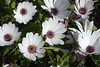 IMG_7050 (Alessandro Grussu) Tags: flowers plant flower macro 20d canon pflanze blumen fiori fiore margherita blum pianta africana osteospermum kapkörbchen