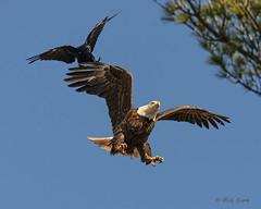 Watch Your Six! (20160417-160956-PJG) (DrgnMastr) Tags: bravo eagles d800 baldeagles littlestories avianexcellence goldwildlife naturesspirit yourbestanimalphoto picswithsoul ia25 dmslair sunshinegroup grouptags allrightsreserveddrgnmastrpjg sigma150600s pjgergelyallrightsreserved