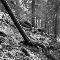 Silver forest D23-HP5 (Jonas.Nilsson) Tags: blackandwhite bw 6x6 film monochrome analog mediumformat square 120film hp5 mf ilford hp5plus d23 filmphotography homedeveloped kiev88cm carlzeissjena biometar filmisnotdead 80mmf28 iamfilm believeinfilm dk25r