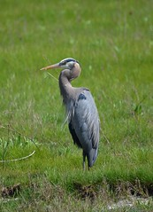 Great Blue Heron (Neal D) Tags: bird heron bc surrey crescentbeach greatblueheron ardeaherodias blackiespit