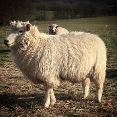 Sheep! (Dave Harwood) Tags: wool sheep farm farming lamb