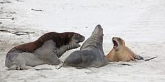 Hookers sea lion playing (crijnfotin) Tags: sea lion otago peninsula otagopeninsula hookers hookerssealion