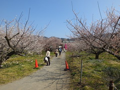 16i5497 (kimagurenote) Tags: apricot ume  japaneseapricot  prunusmume sogabairin   odawarakanagawa