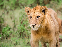 Young male lion (davdenic  in the sky ) Tags: africa nature tanzania wildlife safari ngorongoro serengeti savanna savana