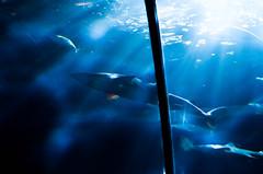 IMGP5344 (cimp8499) Tags: aquarium shark underwater newport oregoncoast newportaquarium newportoregon underwatertunnel