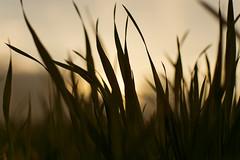 Sundown gras (nrdli) Tags: grass nikon sonnenuntergang sundown outdoor gras taunus steinbach d5200 nikond5200