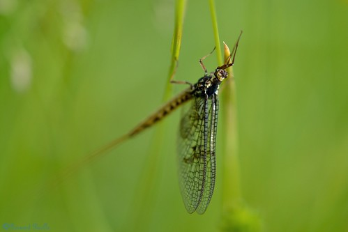 Ephémère (Ephemera vulgata).