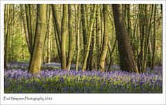 Bluebell Forest (Paul Simpson Photography) Tags: flowers trees england nature bluebells forest woodland spring woods scunthorpe bluebellwoods blueflowers photosof imageof photoof imagesof sonya77 paulsimpsonphotography april2016 wheretoseebluebells