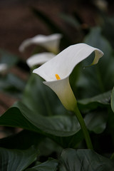 The perfection of a calla lily (Danielle_M_Bedics) Tags: nature garden whiteflower callalily cala descansogardens