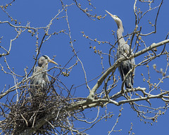 Great Blue Heron (Zone~V) Tags: blue sky tree heron nest kentucky great ardea sycamore april chuck porter rookery wma herodias sloughs