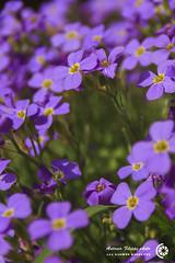 Sinfonia (filippi antonio) Tags: flowers macro primavera nature colors closeup spring natura fiori colori primopiano