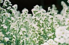 000018 (Supawito) Tags: flower film fuji pentax k1000 n superia200
