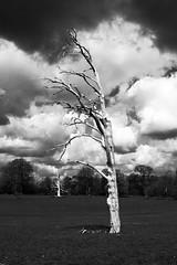 Stark (Version 2) (Graham Dash) Tags: trees blackandwhite monochrome surrey deadtrees hatchlandspark eastclandon